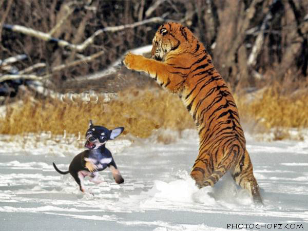 cachorro_vs_tigre_copia